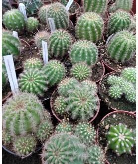 Echinopsis Hybrid (Trichocereus lobiviodes purpureomineata X Echinopsis)