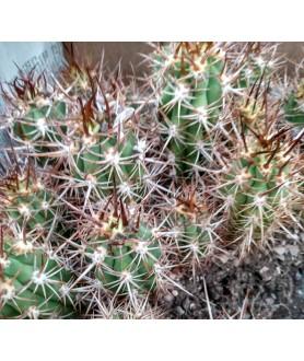Trichocereus coquimbanus RCPB223.01(Z)