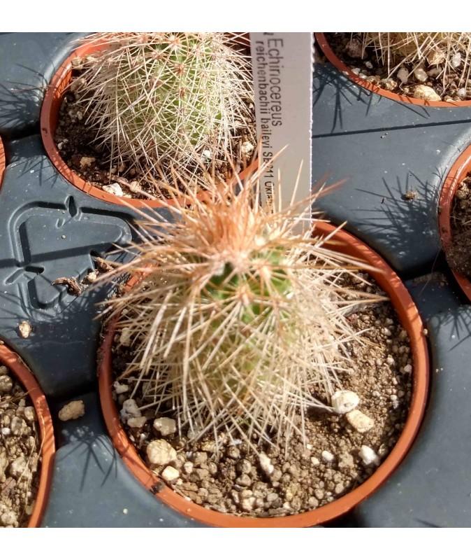 Echinocereus reichenbachii baileyi SB211 Oklahoma, Kiowa Co, Quartz Mts
