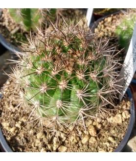Neoporteria nidus KK1432 Ovalle