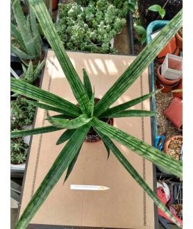 Sansevieria cylindrica Pixel Green