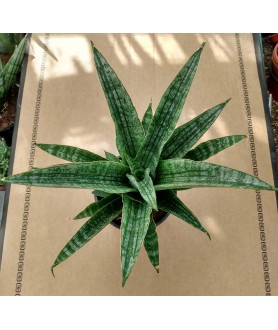 Sansevieria cylindrica Queen Marble