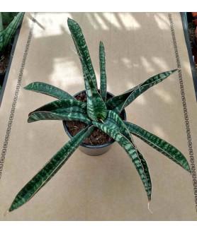 Sansevieria cylindrica Tabby Green