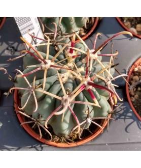 Glandulicactus mathsonii SB1449