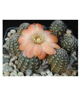 Rebutia pygmaea MN0277