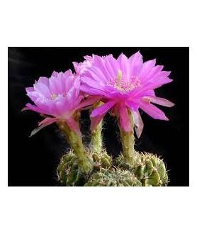 Echinopsis obprepanda v. puppurea R461