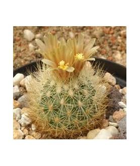 Escobaria roseana