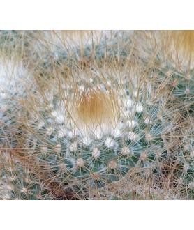 Parodia chrysacanthion