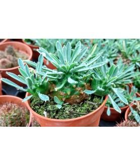 Euphorbia Japonica syn. Euphorbia cv. Cocklebur