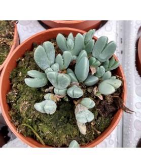 Cheiridopsis pillansii