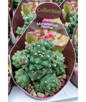 Monadenium ritchei