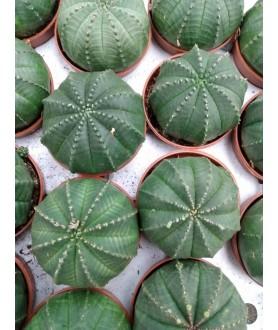 Euphorbia symmetrica