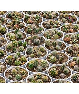 MIXED CACTUS 100 seeds