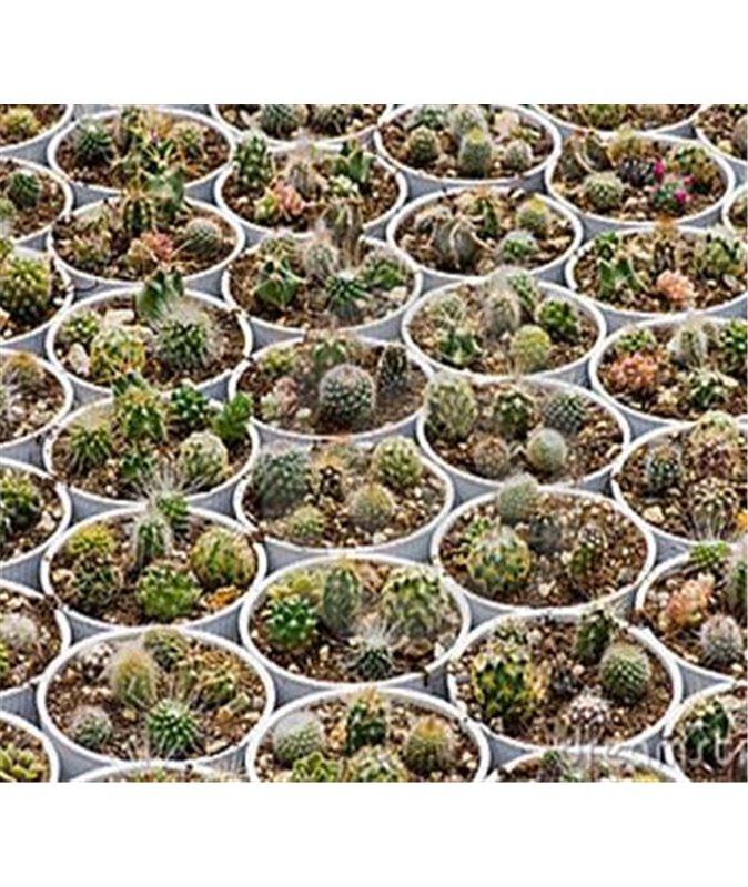 MIXED CACTUS 100 seeds