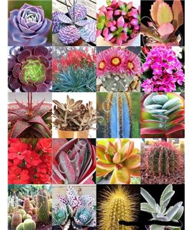 Mixed Cactus and succulent seeds 100
