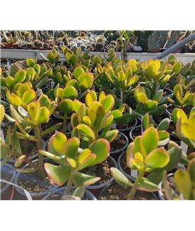 Crassula ovata Hummels Sunset 9cm pots