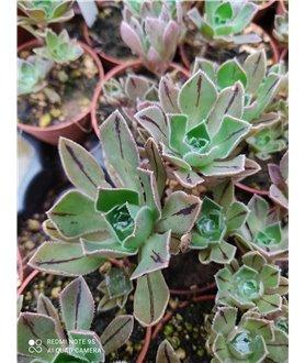 Aeonium escobarii