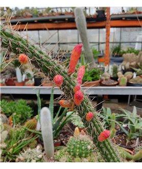Cleistocactus baumannii LB4945