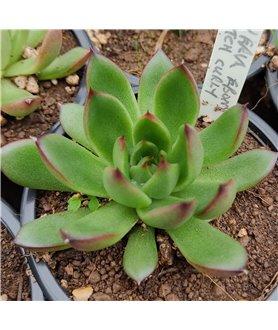 Echeveria hybrid (Ebony X Dutch Curly)